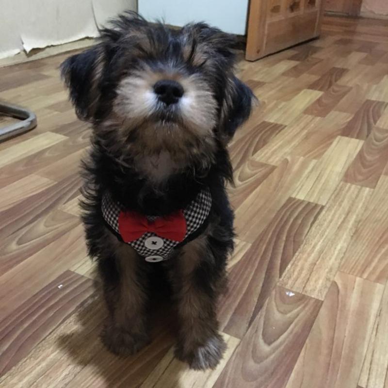 Chaleco-para-perros-Juego-de-correa-para-arnes-de-perro-mascota-para-perros-O3X8 miniatura 5