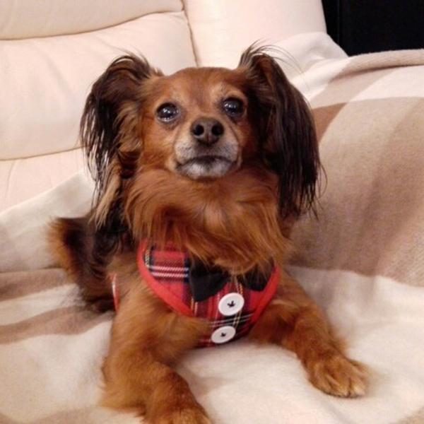 Gilet-pour-chien-Laisse-harnais-de-chien-pour-les-petits-chiens-moyens-Robe-Q2T3 miniature 22