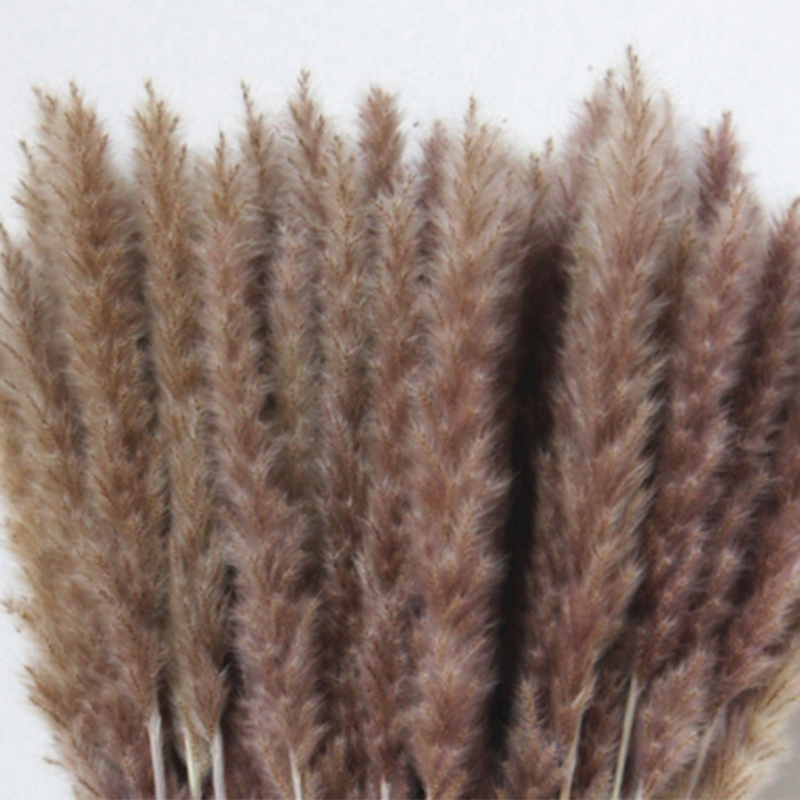 60-Unids-Hierba-de-Pampas-Secas-Naturales-Phragmites-Communis-Planta-de-C-H9W3 miniatura 2