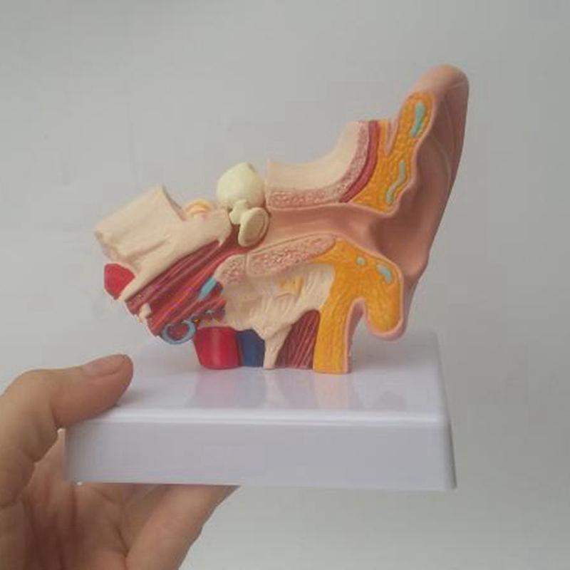 Detalles De Modelo De Anatomía Del Oído Humano 1 5 Veces Mostrando La Estructura De Los V1v7